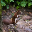 Chipmunk — Stock Photo #1904099