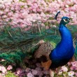 Peacock — Stock Photo #1904761