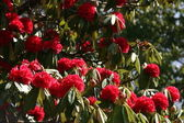 Rhododendrons — Stock Photo