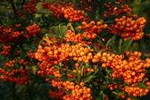 Rowan berry, — Stock Photo