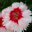 Stock Photo: White Red Flower
