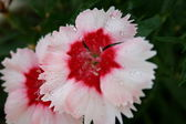 White Red Flower — Stock Photo