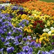 Stock Photo: Color flowers