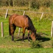 Stock Photo: Horse eating grass