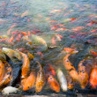 Stock Photo: Koi