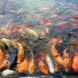 Koi — Stock Photo #1788638