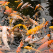 Koi — Stock Photo