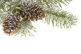 Branch spruce and cones — 图库照片
