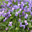Violets in bloom - Photo