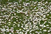 Daisy garden — Stock Photo