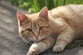 Červená kočka — Stock fotografie