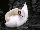 White swan on the black water — Stock Photo