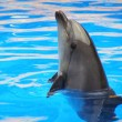 Dolphin in blue water — Stock Photo #1892941