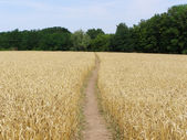 Gold field with footpath — Stock Photo