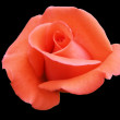 Stock Photo: Incarnadine rose, isolated