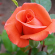 Stock Photo: Incarnadine rose