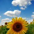 Sunflower and blue sky — Stock Photo #1763976