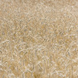 Field with wheat — Stock Photo