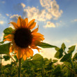 Sunflower — Stock Photo #2115250