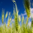 Field of wheat and blue sky — Stock Photo