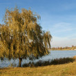 Willow near the lake — Stock Photo