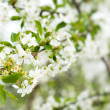 Blossom cherry tree — Stock Photo