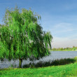 Willow near the lake - Stock Photo