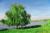 Willow near the lake — Stock Photo