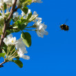 Flight of bumble bee — Stock Photo #2295102