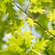 Stock Photo: Green maple leaves