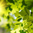 Foto Stock: Green leaves with sun ray