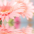 Pink daisy-gerbera reflected in water — Stock Photo