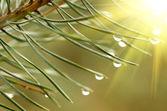 Water drops at fir tree — Stock Photo