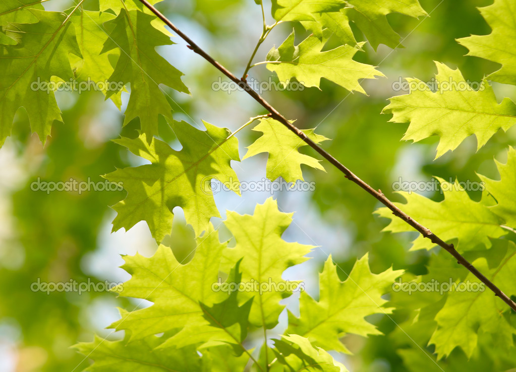 Green maple leaves — Stock Photo #1820976