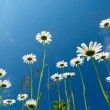 Royalty-Free Stock Photo: White daisies on blue sky background