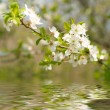 Stock Photo: Apple Blossoms over water