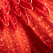 Red daisy-gerbera with waterdrops — Stock Photo #1858585