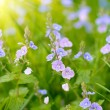 Violet flowers — Stock Photo #1859715