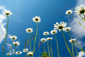 White daisies on blue sky background — Stock Photo