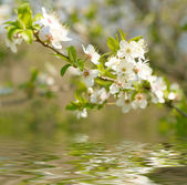 Apple Blossoms over water — Stock Photo