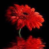 Red daisy-gerbera on black background — Stock Photo