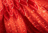 Red daisy-gerbera with waterdrops — Stock Photo