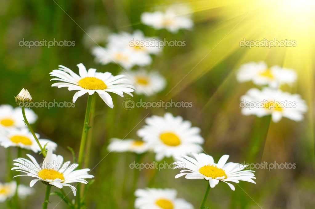 Camomile field — Stock Photo #1859363