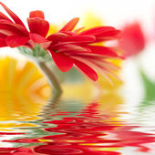 Red daisy-gerbera with soft focus reflec — Stock Photo