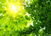 Green leaves with sun ray — Stock Photo