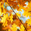 Foto Stock: Autumn maple leaves background