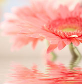 Pink daisy-gerbera with soft focus refle — Stock Photo