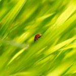 Ladybug on green grass — Stock Photo