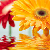 Closeup photo of yellow daisy-gerbera — Stock Photo