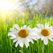 Two daisies on green grass - Stock Photo